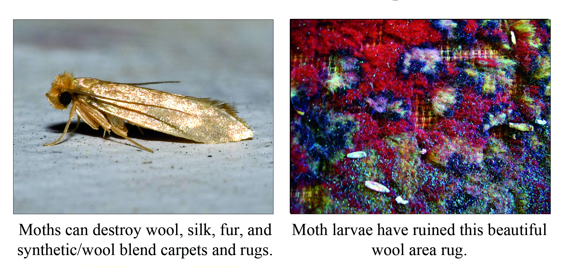 Cloth Moth Offspring are on the Munch